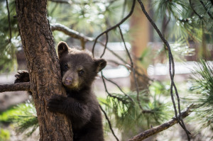 Baby Bear in Tree