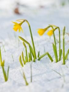 Tulips in Spring Snow